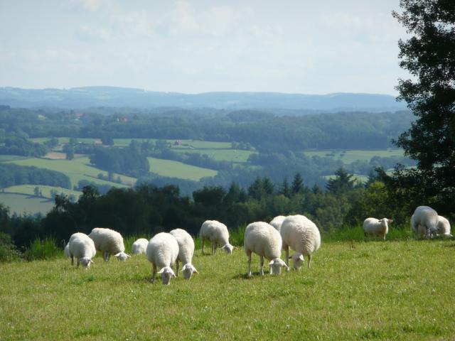 Moutons Plateau De Millevaches