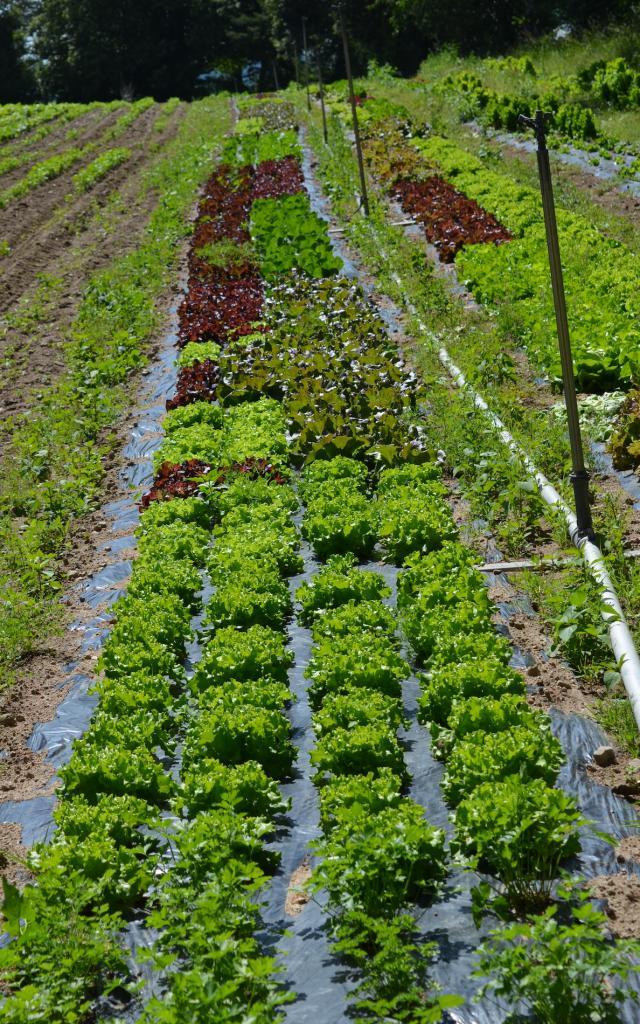 Potager - Salades de la Creuse