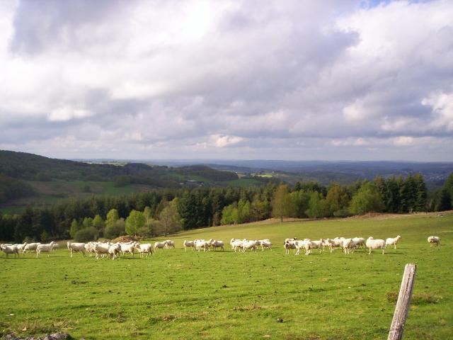 Plateau De Millevaches Troupeau Mouton