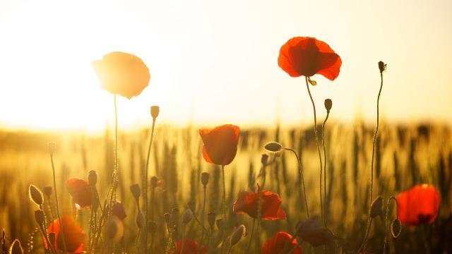 Poppies 174276 1280