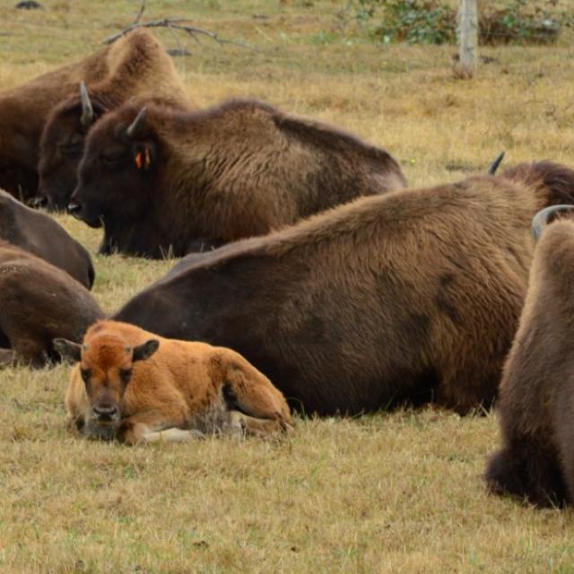 Les bisons du Palais (Creuse)