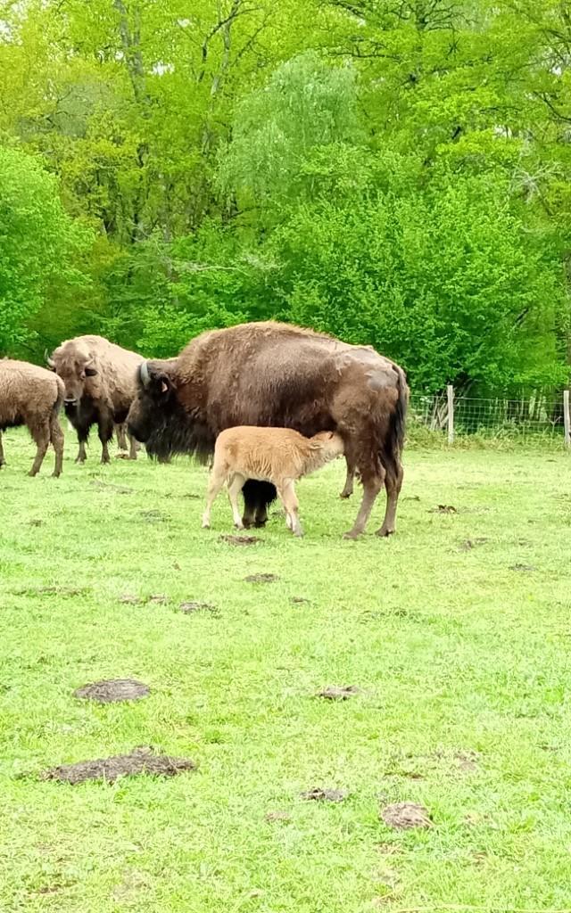 Les bisons de l'elevage du Palais