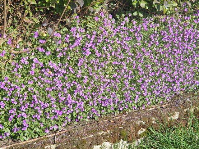 29-bois-de-lassoux-fleurs-violettes.jpg