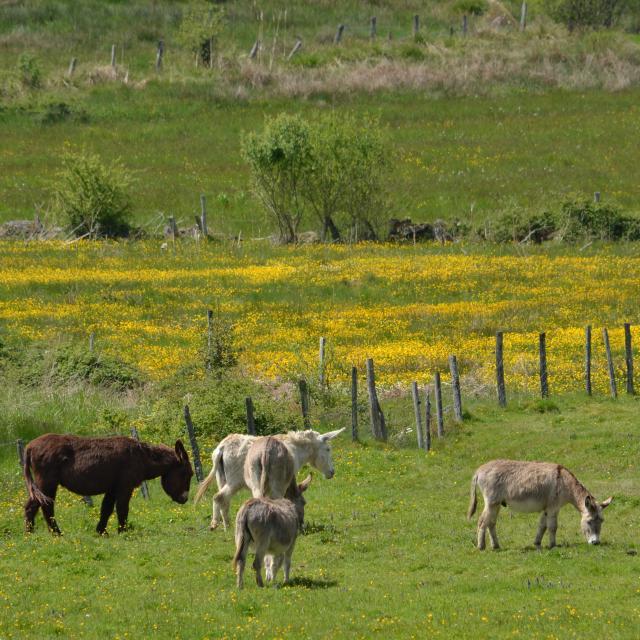 Les ânes au Mondoueix