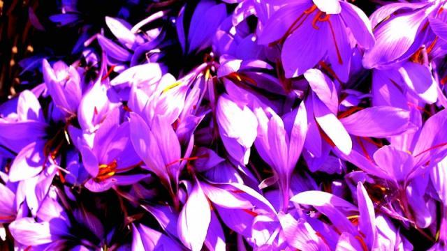 Safraniere Fleursdesafran.jpg 800px