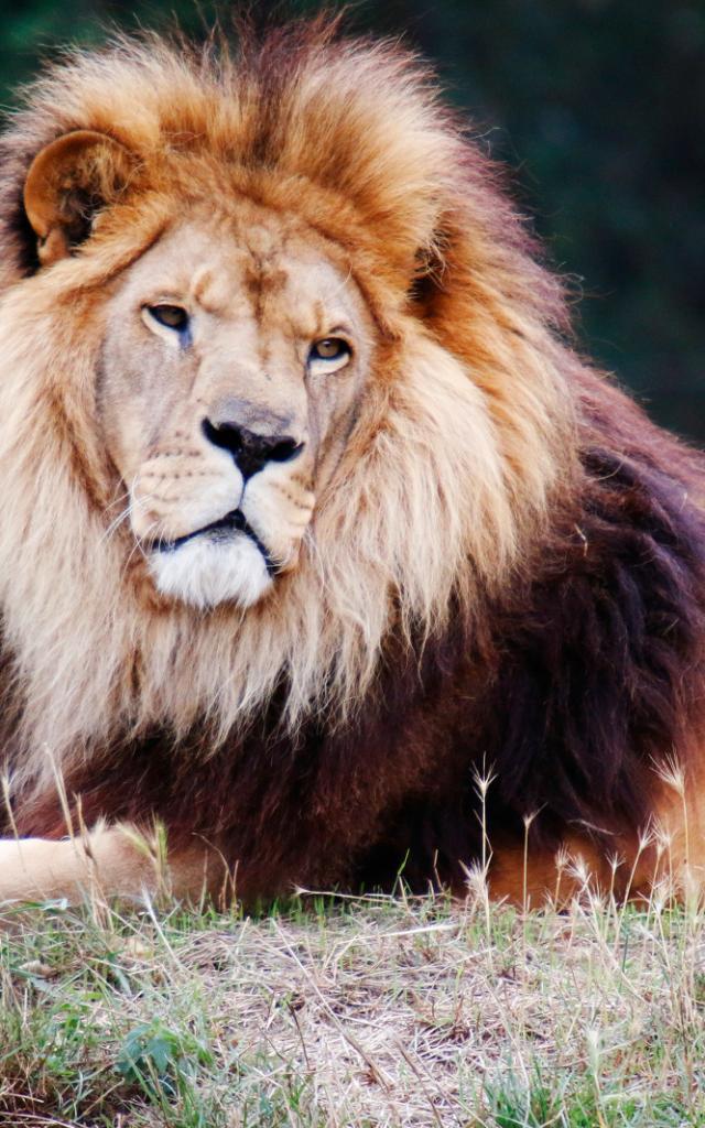 Refuge animalier de l'Arche - Lion
