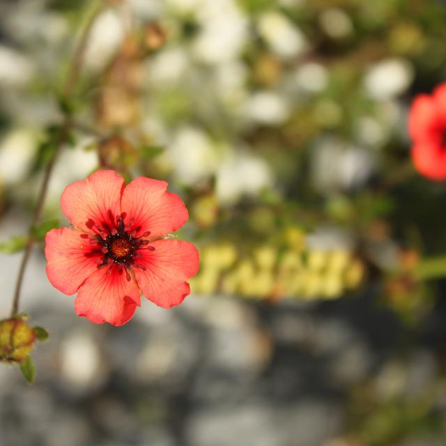 Fleur champêtre - Mayenne