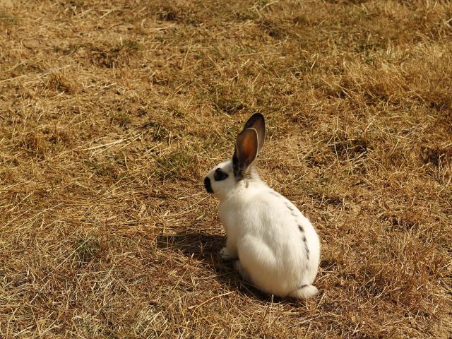 Ferme de la papinière - lapin - Saint Georges de Buttavent - Mayenne