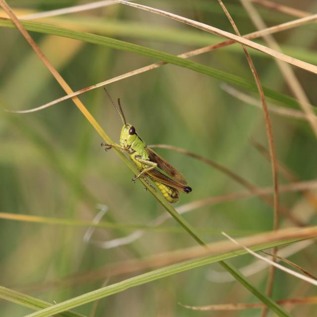 Chorthippus montanus