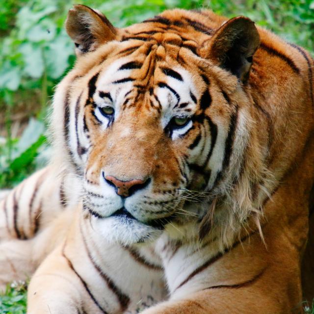 Tigre Le Refuge Animalier De L Arche Sud Mayenne Chateau Gontier Cp Pascal Beltrami Mayenne Tourisme 1920px