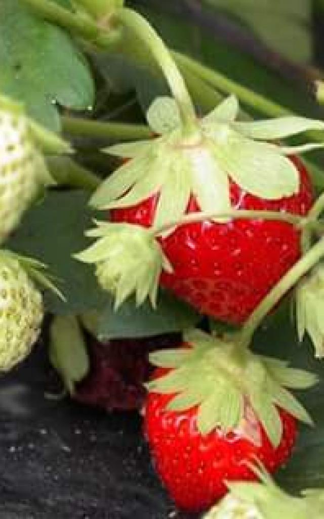 Fraises, Petits Fruits de Vouxey