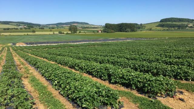 Champs de fraises, Petits Fruits de Vouxey