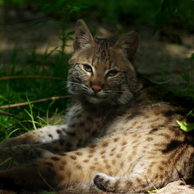Spaycific Zoo Bobcat à Spay
