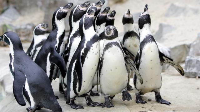 Manchots Zoo La Fleche