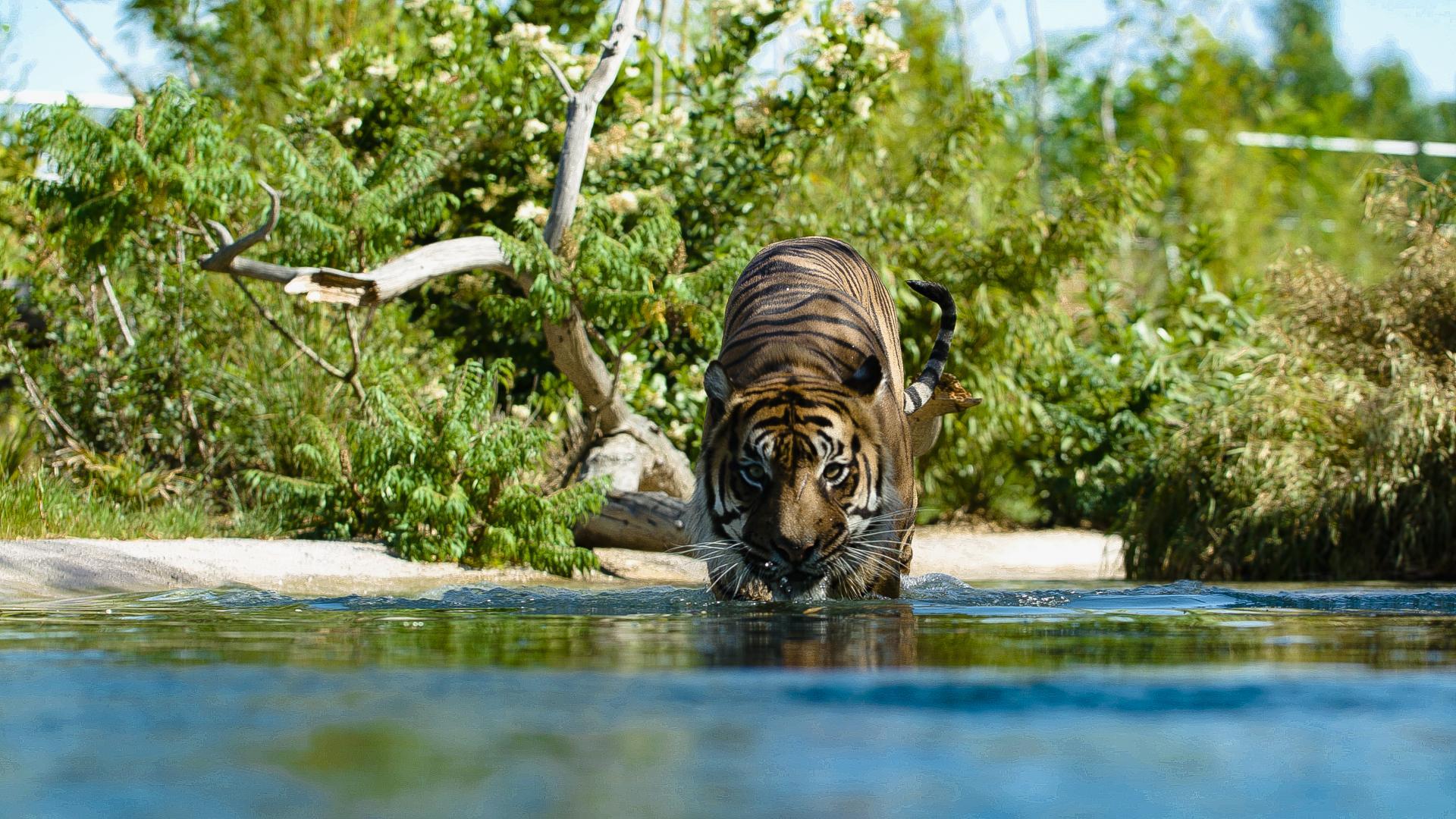 Zlf Nouveauté 2019 Tigres Sumatra 2 180719 01