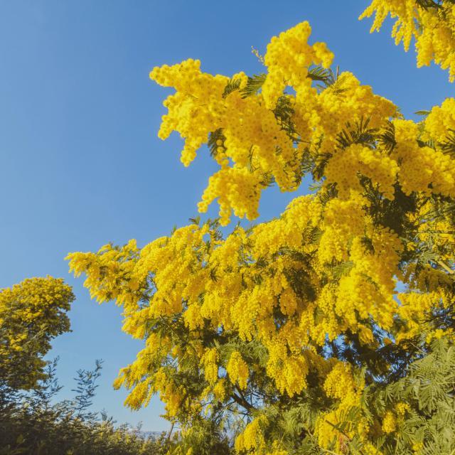 arbre-mimosa.jpg