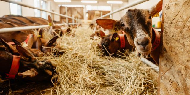 Les chèvres de la chèvrerie de la Font Sancte