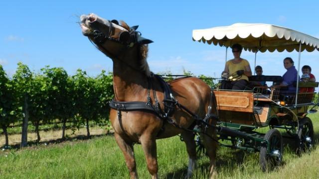 Praline attelée à sa calèche dans les vignes de Thoré-la-Rochette
