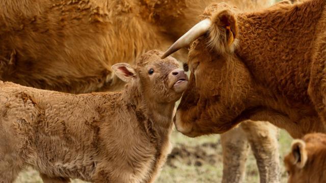 Vache Limousine - Peret Bel Air