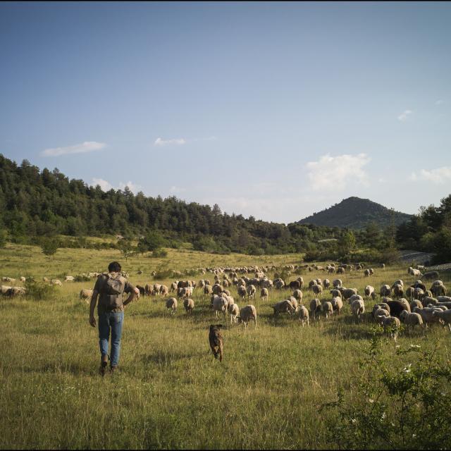Journée de transhumance sur les hauteurs de Castellane