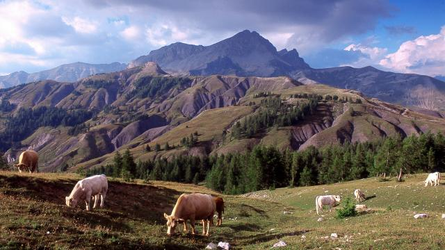 Vaches au col des champs