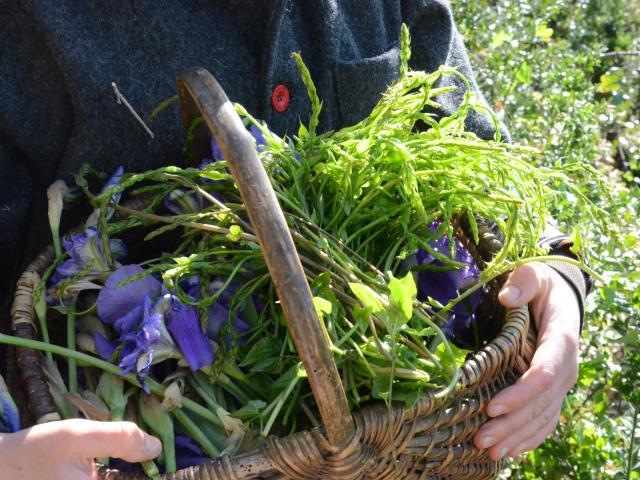 Cueillette Plantes Medicinales