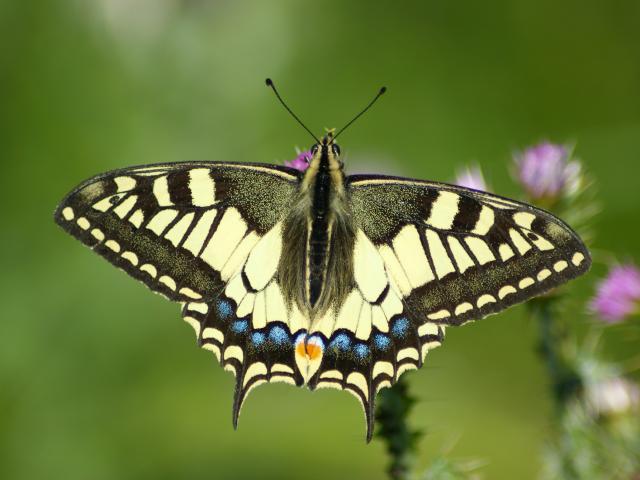Machaon Papilio Machaon Boue