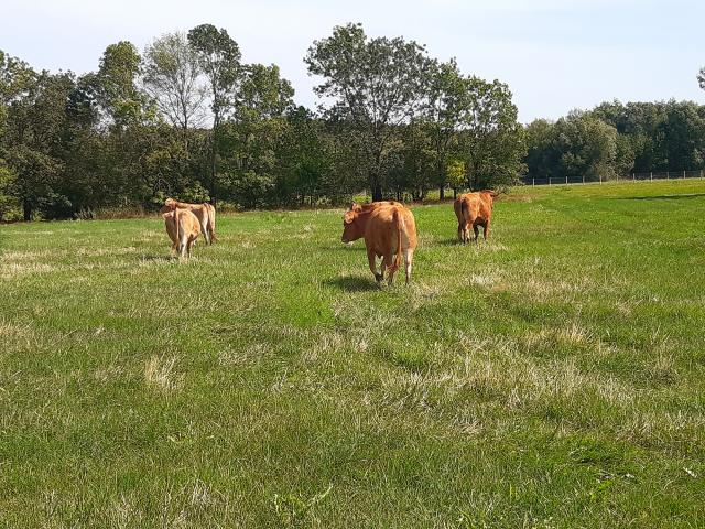Ecopaturage Vaches (15)
