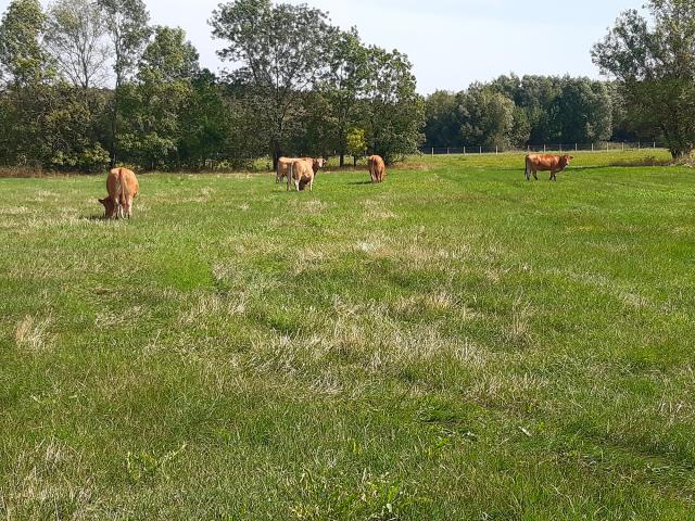 Ecopaturage Vaches (16)