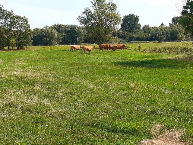 Ecopaturage Vaches (17)